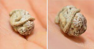Camaleón bebé recién nacido olvidó que ya no está en el huevo. Así se enredan mientras están dentro