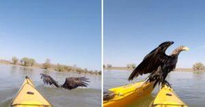 Pareja en kayak salvó a dos águilas que se ahogaban en el río Danubio. Las llevaron a tierra firme