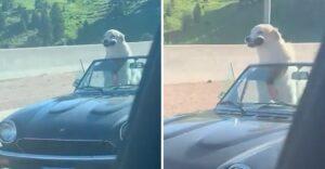 Perro disfruta el viento y muestra sus dientes viajando en un convertible. Se le inflan sus cachetes